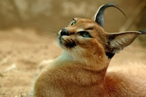 [Image: Caracal+Cat.jpg]
